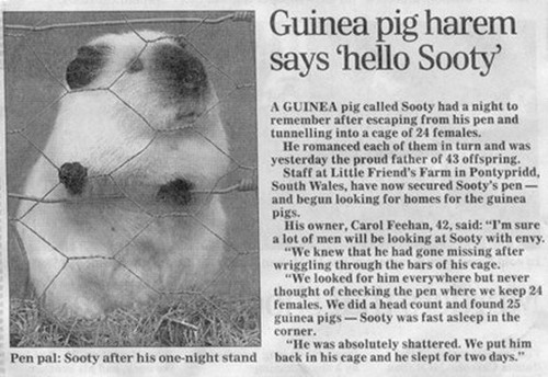 The Guinea Pig of Love...