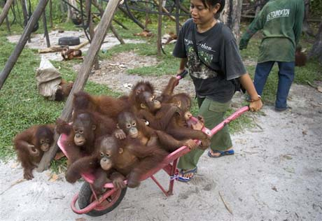 The perfect amount of baby Orangutans is: 'A wheelbarrow full'