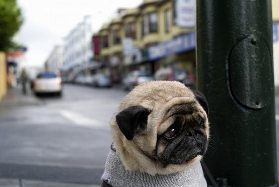 Sad Pug is sad...