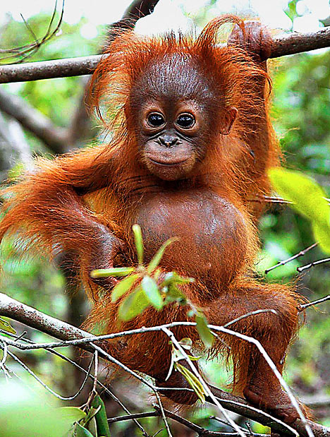 http://thefagcasanova.files.wordpress.com/2009/10/orangutan2_468x619.jpg?w=468&h=619