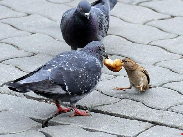 Pigeons may be bullies sometimes if they desire food.