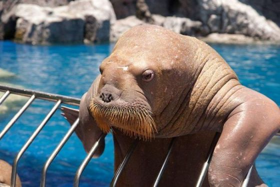 It aint easy being a walrus...